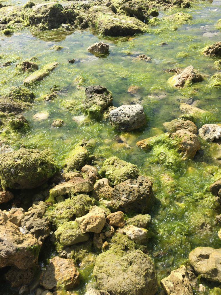 浜辺のアーサが生えている写真